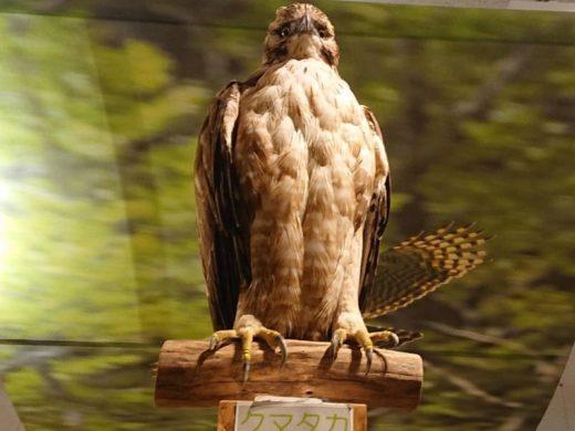 猛禽類保護センター クマタカ