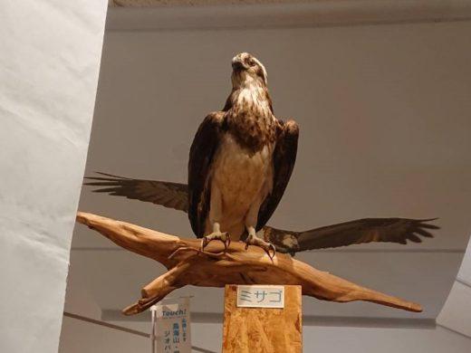猛禽類保護センター ミサゴ