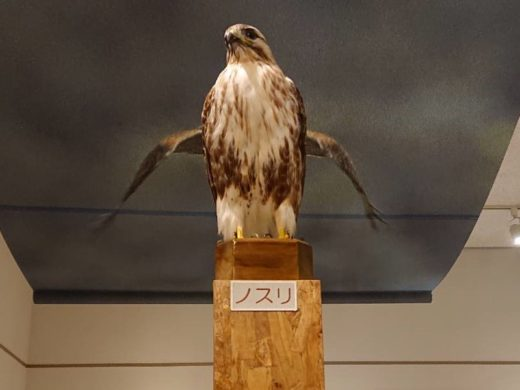 猛禽類保護センター ノスリ