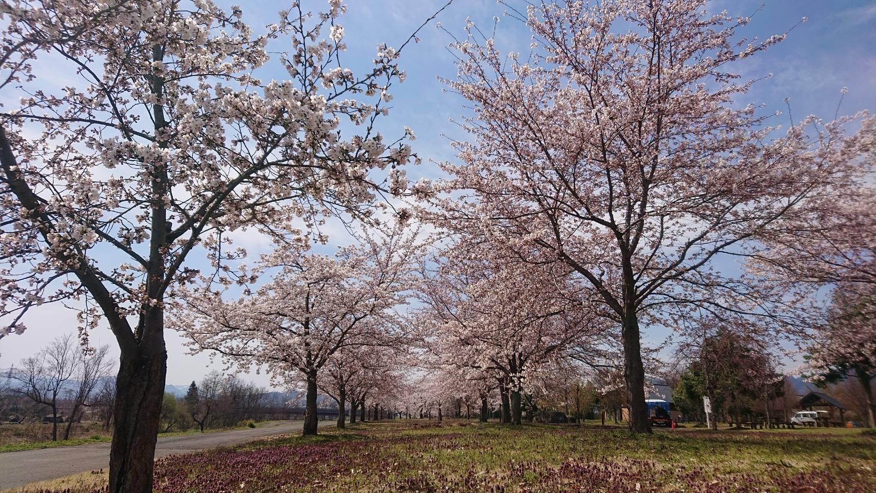 西公園の桜並木