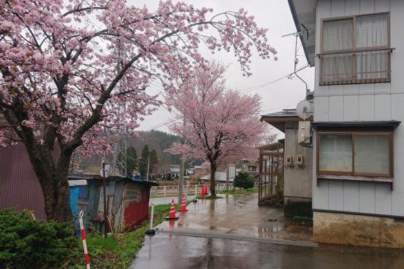 てる井の三本桜