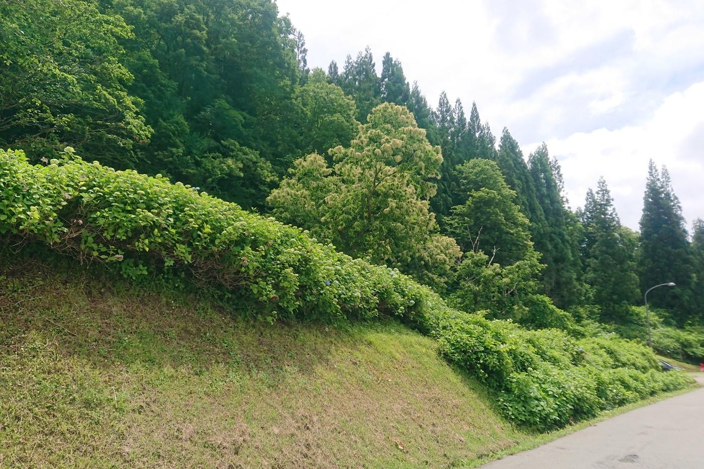奥おおえ柳川温泉の紫陽花1