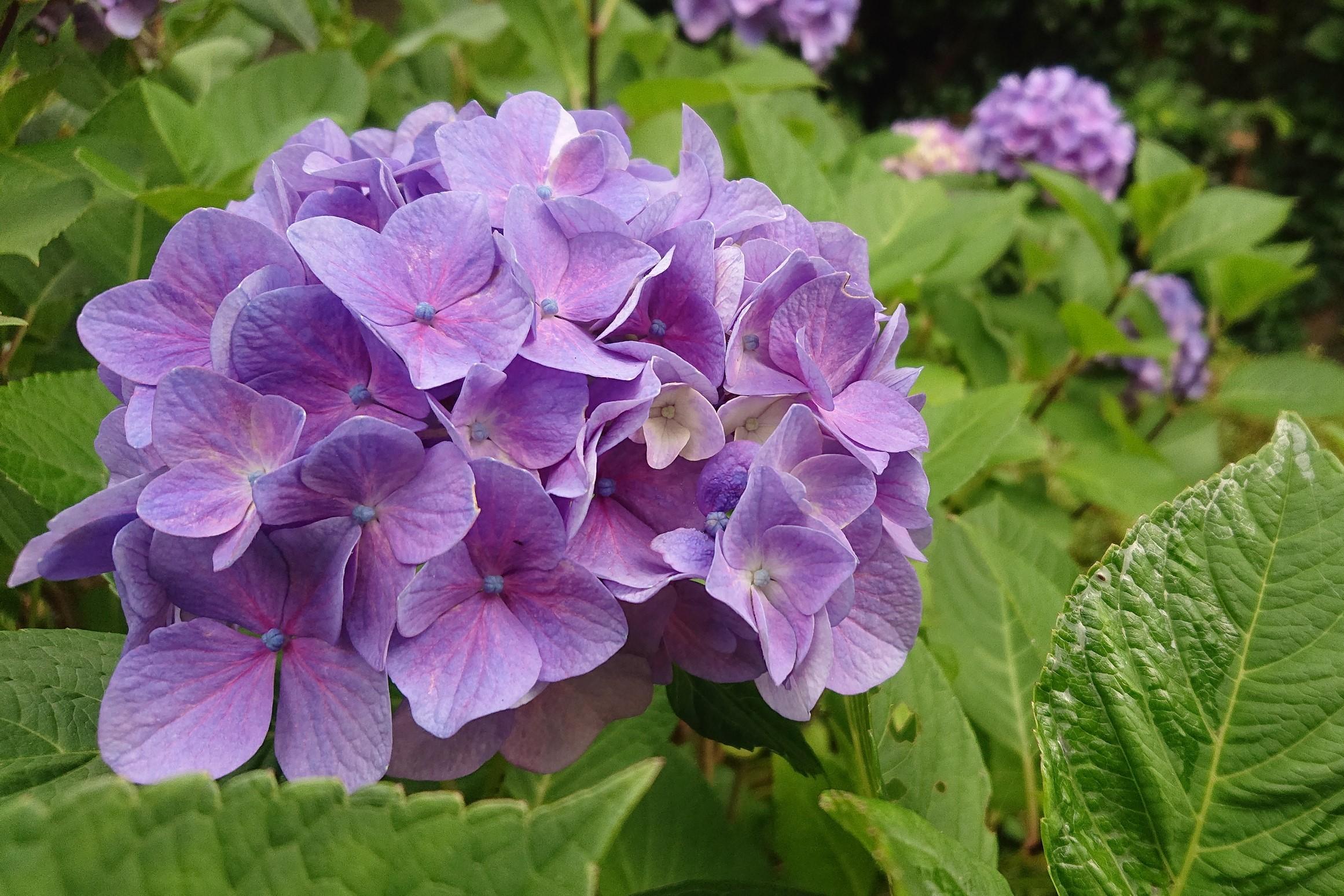 北楯公園の紫陽花